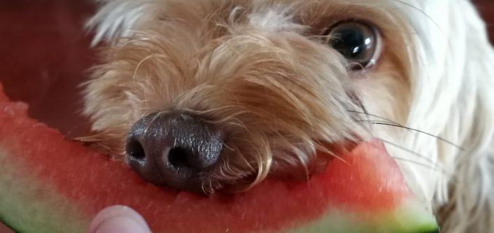 que frutas pueden comer los perros