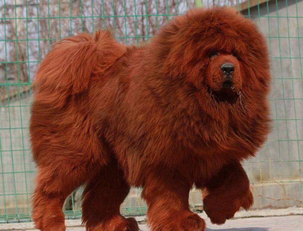 raza de perro más cara del mundo
