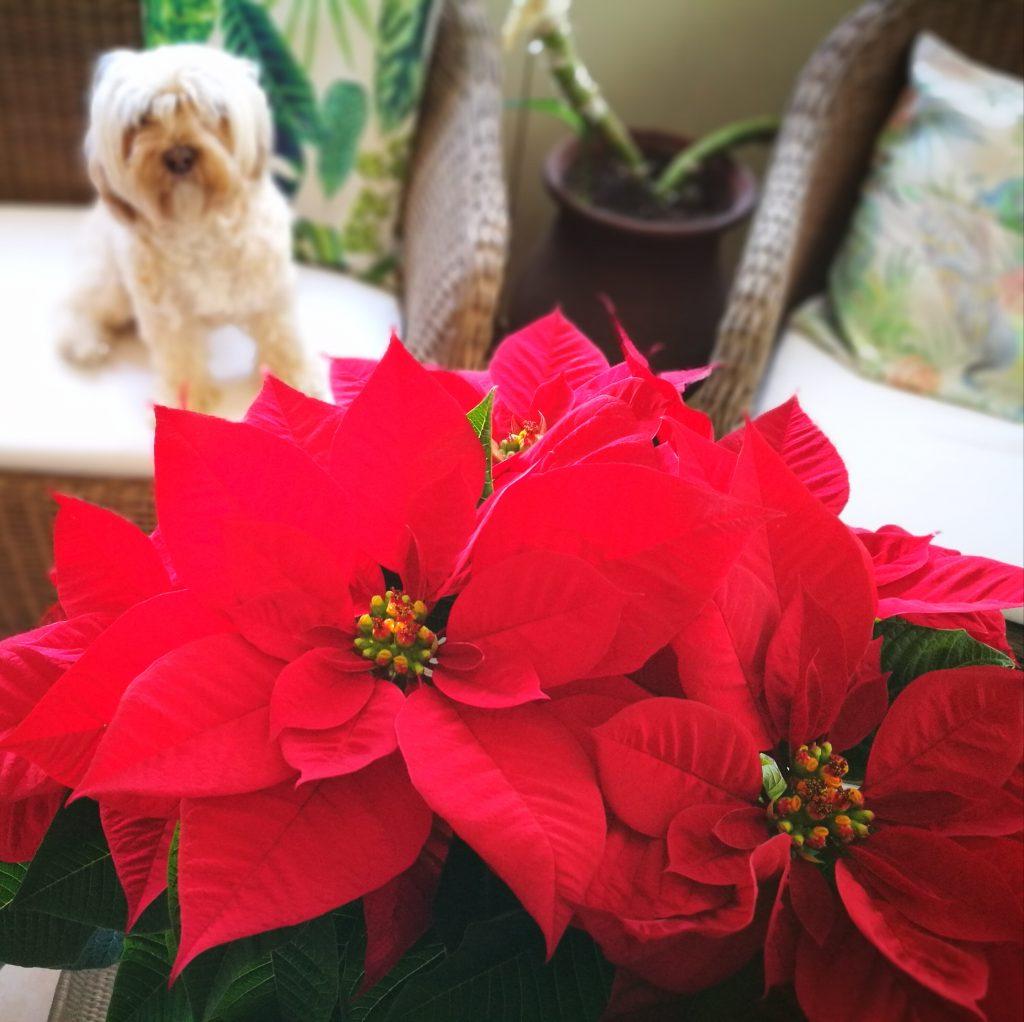 Flor de Pascua y perros