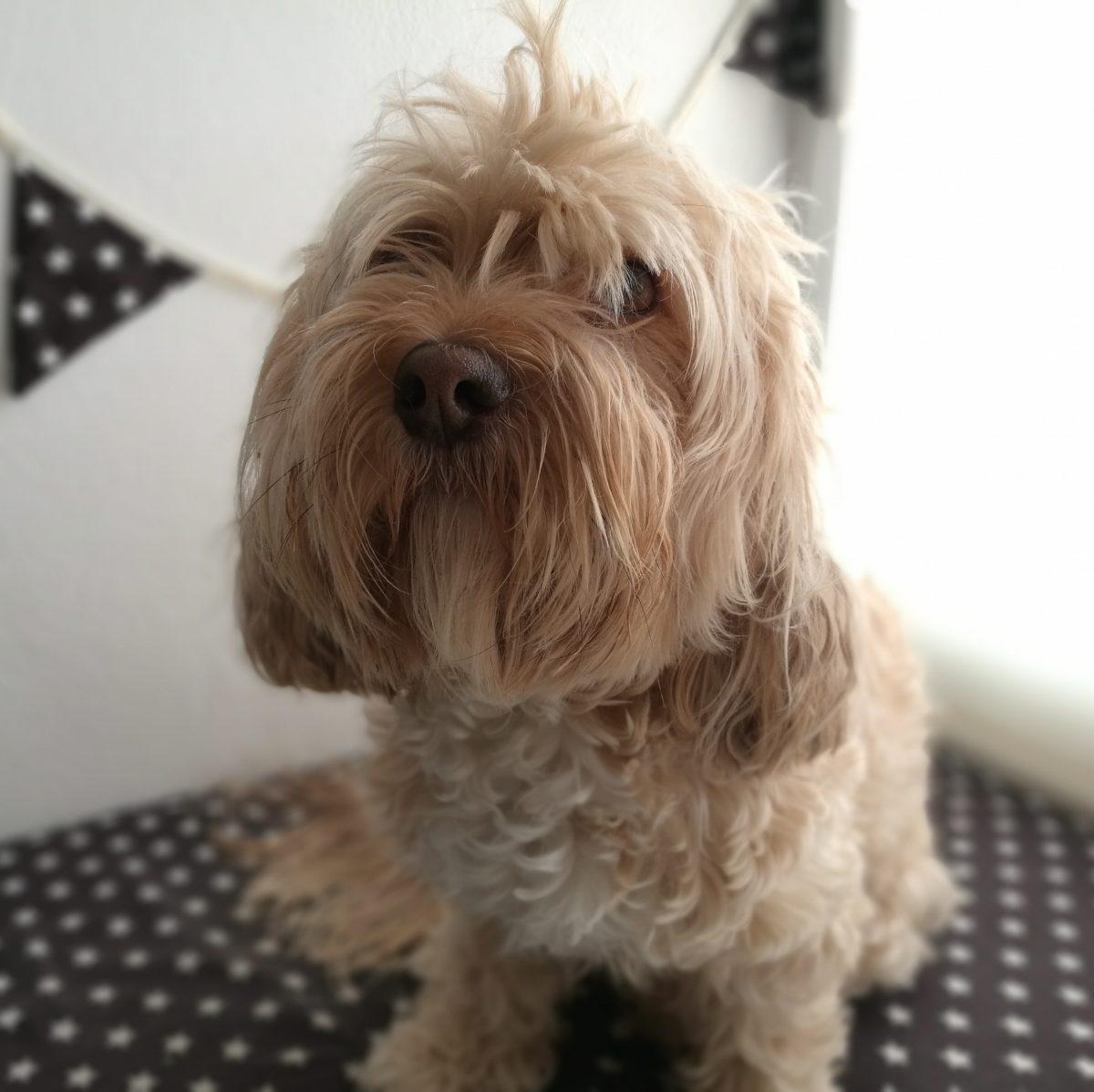 quitar nudos del pelo del perro