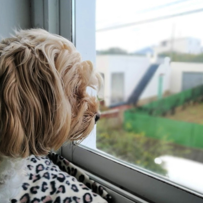 perro debe poder ver por la ventana