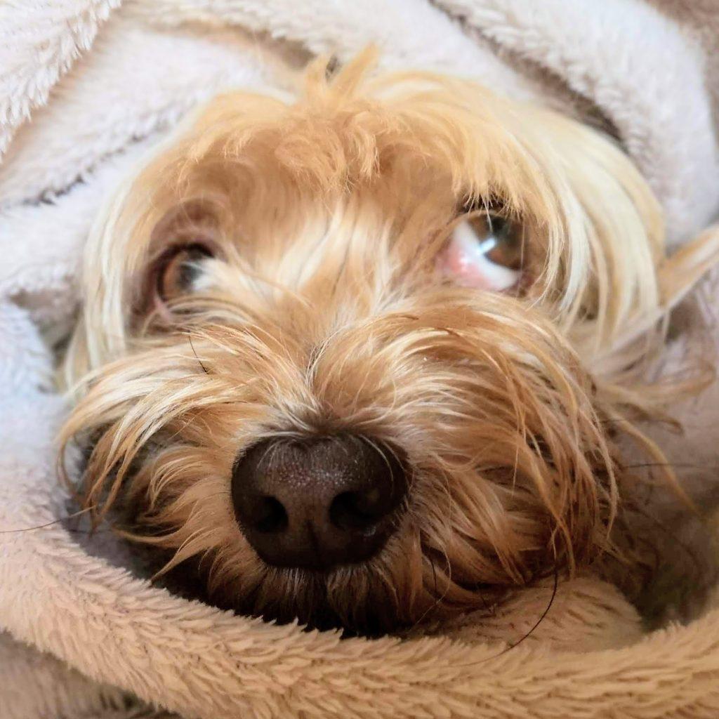 legañas en ojos de perros