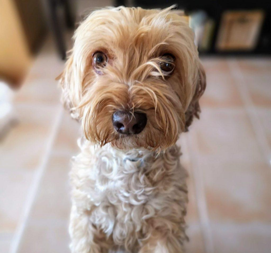 legañas en perros