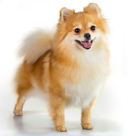 races de chiens mini